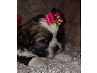Shih-tzu Puppies Edinburgh!