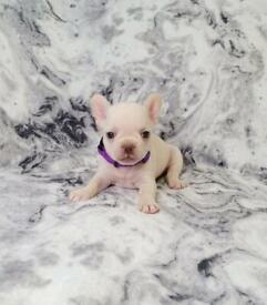 Kc registered French bulldog puppy's