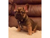 Kc French bulldog puppies READY TO LEAVE