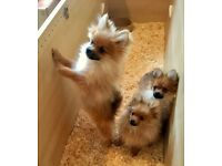 Purebred Pedigree Pomeranian Puppies - Adorable and ready to go to their new home.
