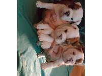 British bulldog puppy dog for sale