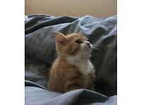 Ragdoll X kittens ginger male .