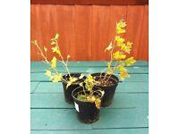 3 x Gooseberry Plants ( Invicta ) in Pots