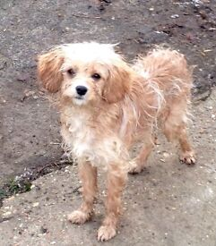 Apricot Cavapoo Girl!! cavalier king charles spaniel x poodle. Sadly available!