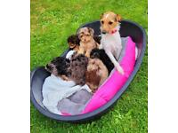 Jack a poo puppies