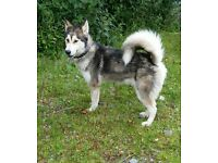 Husky x Alaskan Malamute Female