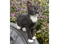 Cornish Rex cross kittens for sale