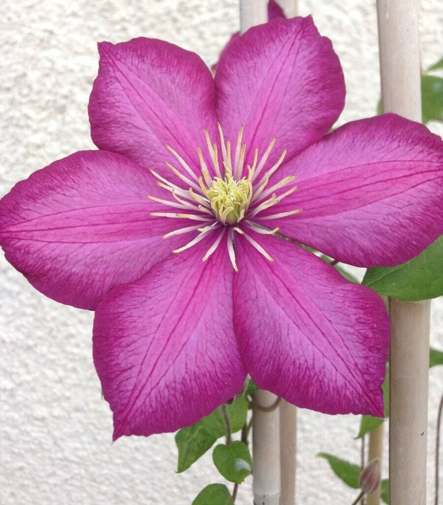 Red Climbing Clematis 7 Year Old Plant In Cheltenham