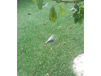 Diamond Dove found in garden. Not caught, but feeding here since yesterday. Please help!