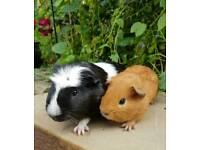 Pair of baby guinea pigs