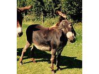 Registered Miniature Mediterranean Donkey