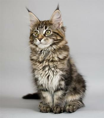 Maine Coon Cat Glossy Poster Picture Photo Kitten Cute Funny Adorable Cool 1423
