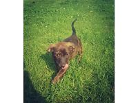 **Beautiful Unusual Chocolate Brindle Jack Russell Available**