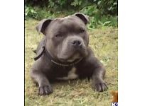 Top Quality KC Reg Blue Staffordshire Bull Terrier Pups For Sale