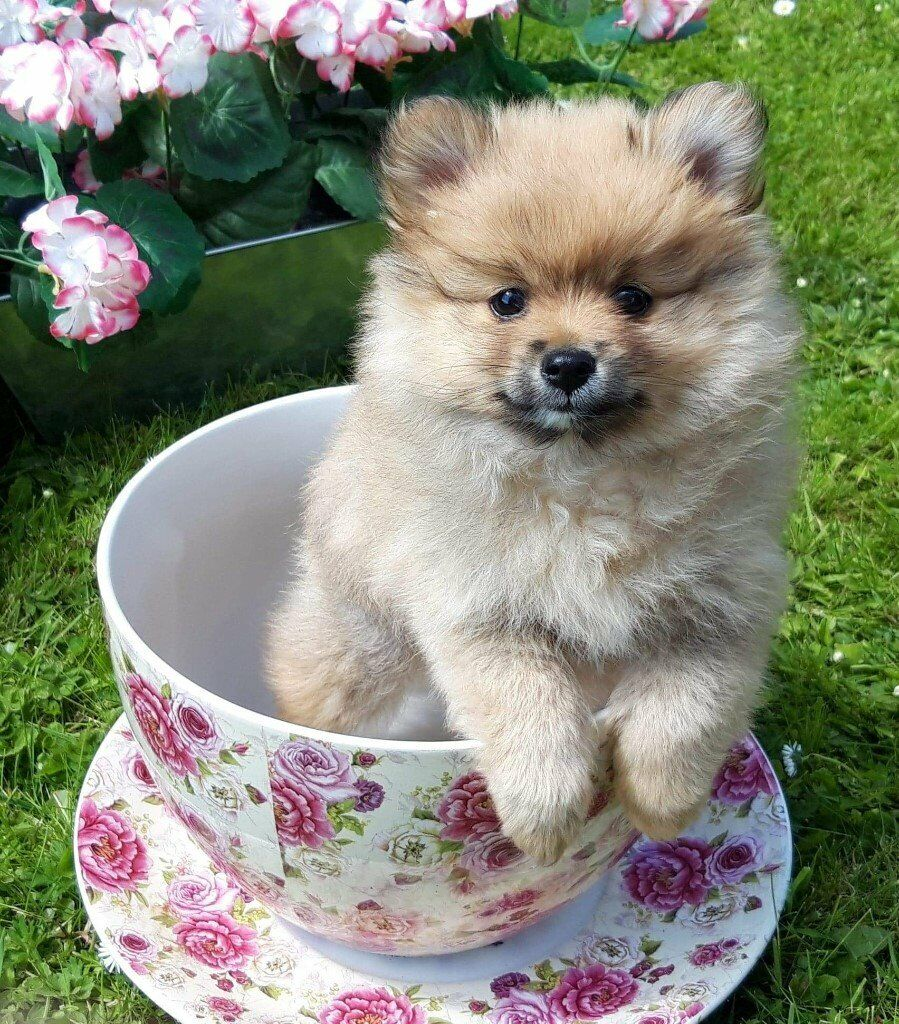 Gorgeous Teddy Bear Puppies For Sale In Georgia
