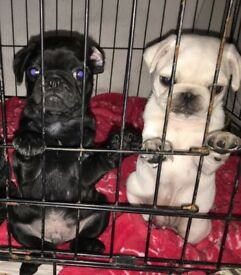 2 gorgeous pug puppies left to go to they're new forever homes!!!!