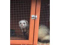 ** Hob Ferret For Sale 14 Months Old**