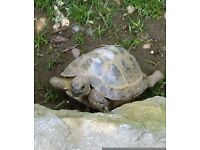 Missing for 6 weeks Male Horsefield Tortoise 10yrs old. Dull/blind in right eye appx 15 cm across