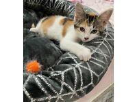 Calico tri colour female kitten
