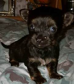 Yorkshire terrier cross Chihuahua puppy for sale