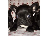 Beautiful French bulldog puppies for sale three boys and one girl