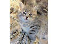 Amazing Russian blue X kittens