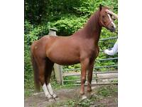 Section C pony for sale