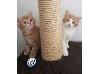 GINGER MALE KITTENS (LAST ONE AVAILABLE)