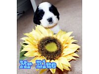 English Springer Spaniel cross Cavalier King Charles puppies