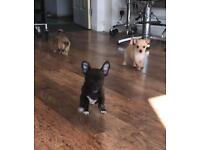 Chihuhaua puppies for sale