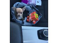 Tea cup chihuahua male puppy