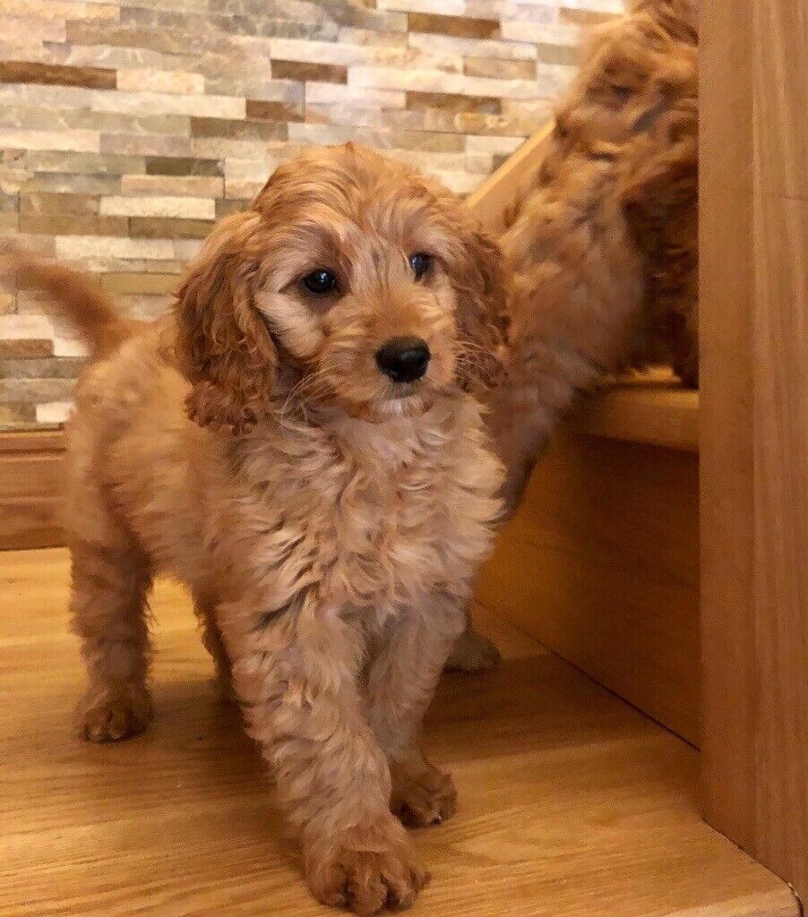 Callie - Cockapoo Puppy for Sale in Northern Territory Australia