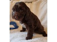 Chocolate & Parti coloured cockapoo puppies