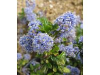 ceanothus blue mound evergreen shrub plant