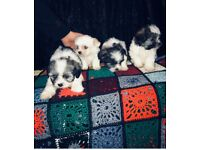 Sechon puppies