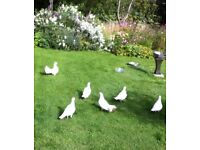 White doves FREE to a good home.