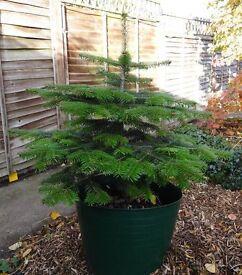 Real live Christmas tree with root ball