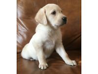 Chunky K.C registered Labrador puppies