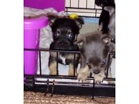 Last boy chiuhahua left in litter....black and tan
