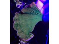 Neon green plating monti (Live coral, marine fish tank)