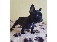 READY NOW!! FRENCH BULLDOG PUPS