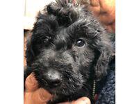 Bedlington x Norfolk type lurcher puppies