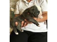 old tyme british bulldog puppies
