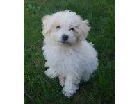 Beautiful Cavapoo Male Puppy,