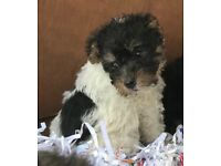 YORKIEPOO PUPPIES IN LEICESTERSHIRE