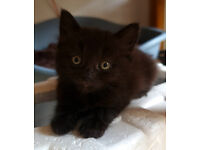 Beutiful balck kittens looking for loving home.