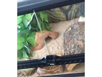 Female Leopard gecko