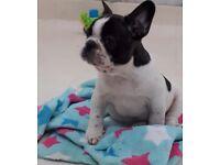 French Bulldog pups KC Reg - WOW!