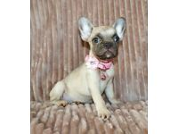 Beautiful KC REGISTERED FRENCH BULLDOG PUPS, READY NOW