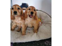 Gorgeous Cockapoo Puppies Ready Now